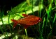 """【熱帯魚】 レッドチェリーテトラ """"ジュルエナ"""" ブラジルブリード 3匹"""