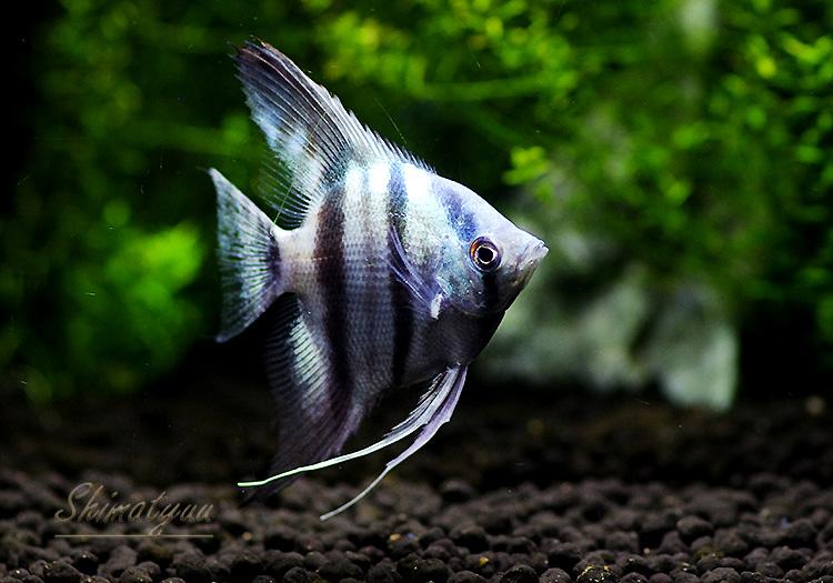 【熱帯魚】 アバターブルーエンゼル 1匹
