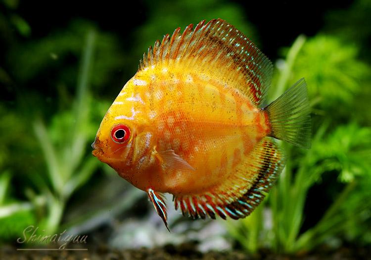 【熱帯魚】 ピジョンブラッド・ディスカス 5匹