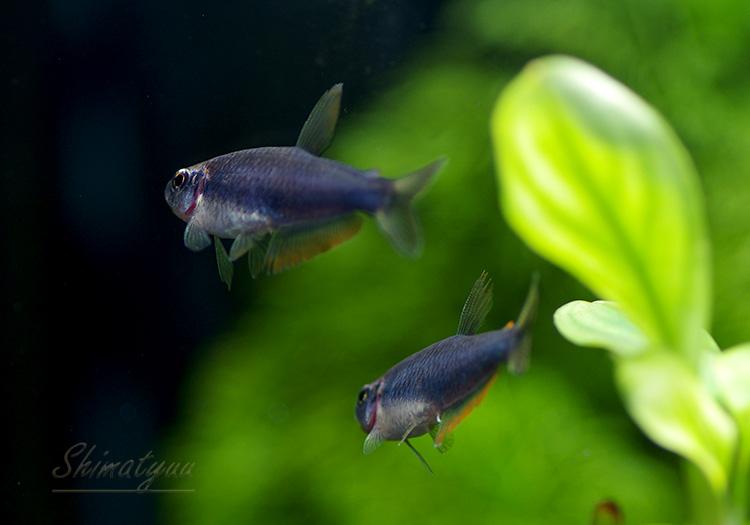 【熱帯魚】 スーパーブルー・インパイクティスケリー 1匹