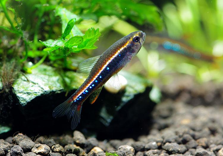 【熱帯魚】 ワイツマニー・テトラ WILD 1匹
