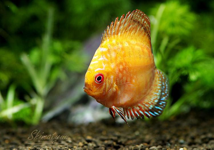 【熱帯魚】 ピジョンブラッド・ディスカス 1匹