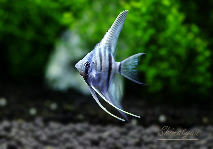 【熱帯魚】 アバターターコイズグリーンエンゼル 1匹