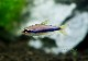 【熱帯魚】 インパイクティスケリー WILD 3匹