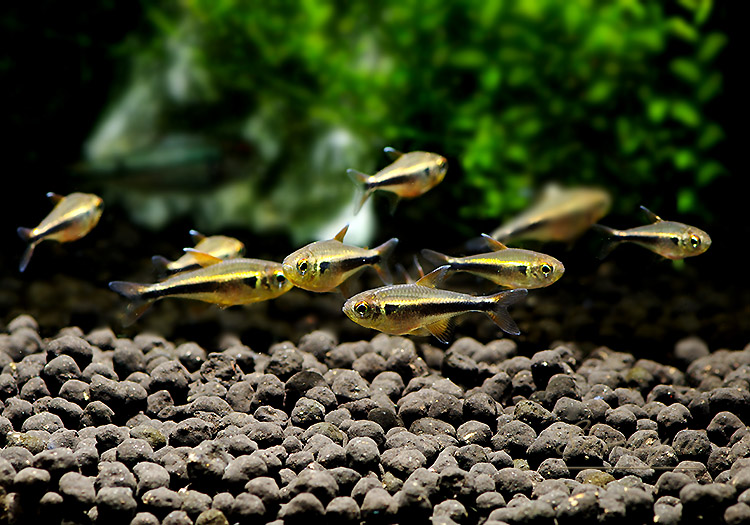 【熱帯魚】 シングーニュービックリマークテトラ WILD 3匹