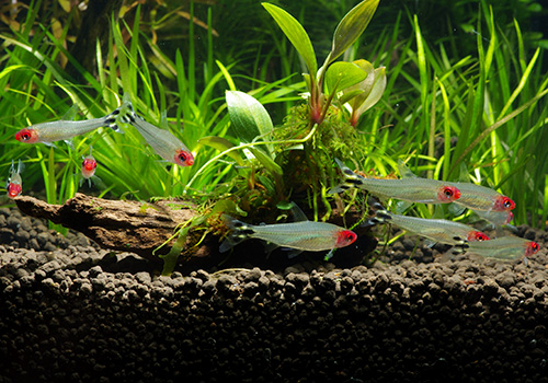 【熱帯魚】 イエローテール・ラミーノーズテトラ WILD 10匹