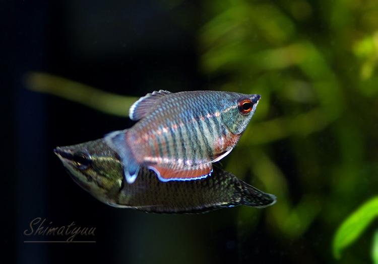 【熱帯魚】 スファエリクティス・バイランティ 3匹