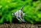 【熱帯魚】 ペルーアルタム エンゼル WILD 1匹