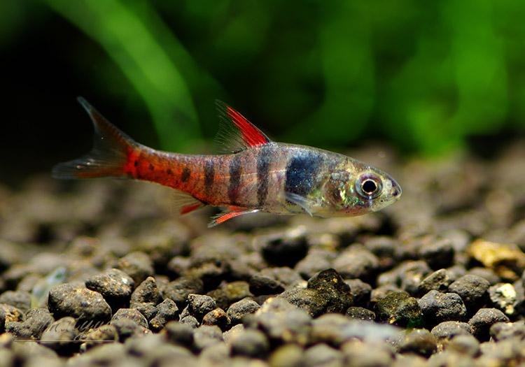 【熱帯魚】 バルブス・ヤエ WILD 雌1匹