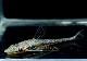 【熱帯魚】 オキシロプシス ライティアナ 2匹