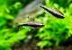 【熱帯魚】 エンペラーテトラ 10匹