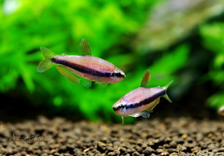 【熱帯魚】 インパイクティスケリー 50匹