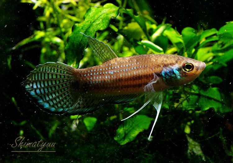 【熱帯魚】 ワイルド ベタ プグナックス 1Pr