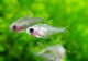 【熱帯魚】 Hyphessobrycon sp aff pulchripinnis ghost WILD 3匹