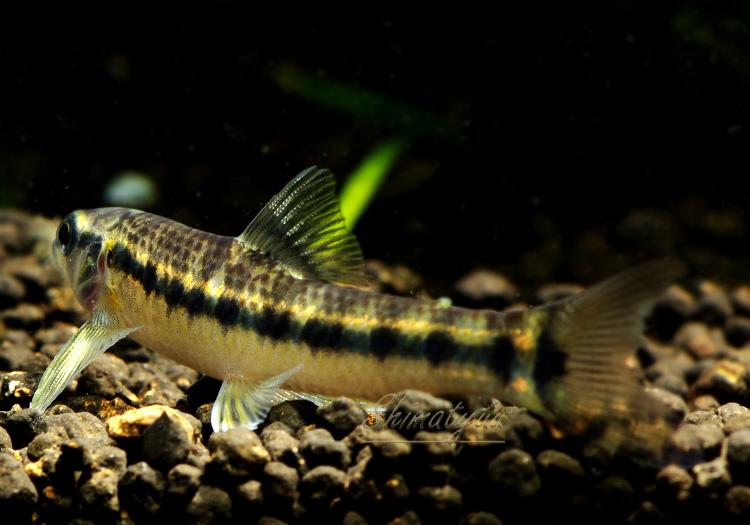 【熱帯魚】 ベネズエラ・バタフライダータテトラ sp. WILD 3匹