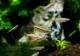 【熱帯魚】 ベトナム・アカヒレ WILD 10匹