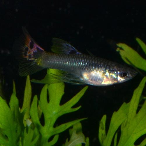 <所沢グッピー> フルレッドリボン 1Tr (熱帯魚)