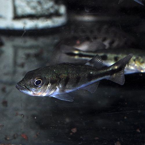 キクラ・オセラリス 3匹 (熱帯魚)