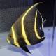 フレンチエンゼル ML〜Lサイズ 011115 (海水魚)