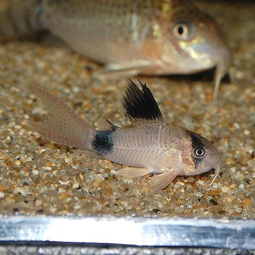 Co.パンダ(ブリード個体) 1匹(熱帯魚)