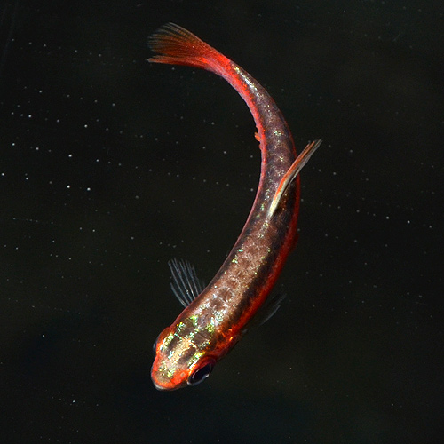 アークレッド・ペンシル 2匹(熱帯魚)