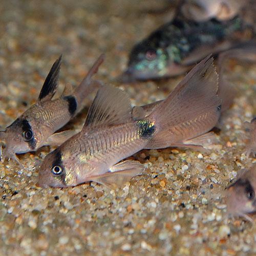Co.ロングフィンパンダ(ブリード)3匹(熱帯魚)