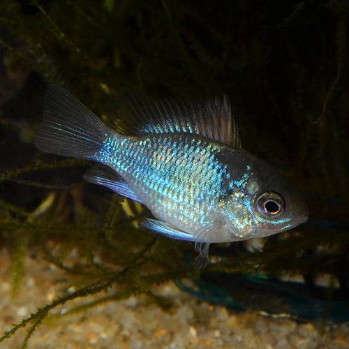 コバルトバルーンラム Sサイズ 1匹 (熱帯魚)