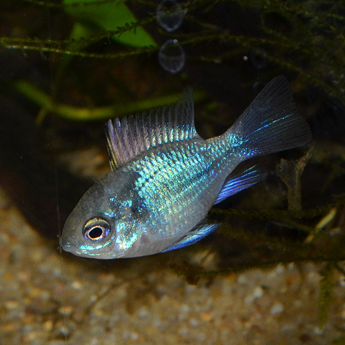 コバルトバルーンラム Sサイズ 2匹 (熱帯魚)