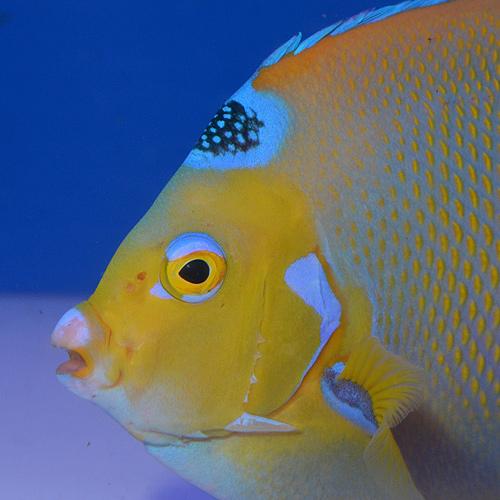 クイーンエンゼル LL〜XLサイズ  (海水魚)