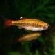 ゴールデンアカヒレ 1匹 (熱帯魚)