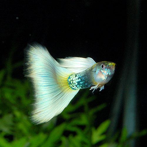 <所沢グッピー> ドイツイエロータキシード Lサイズ 1pr(熱帯魚)