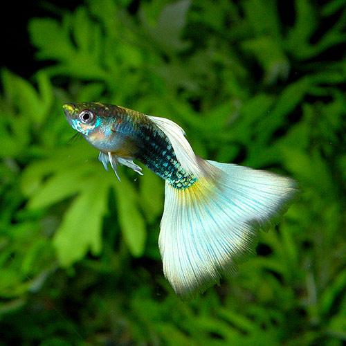 <所沢グッピー> ドイツイエロータキシード MLサイズ 1pr(熱帯魚)