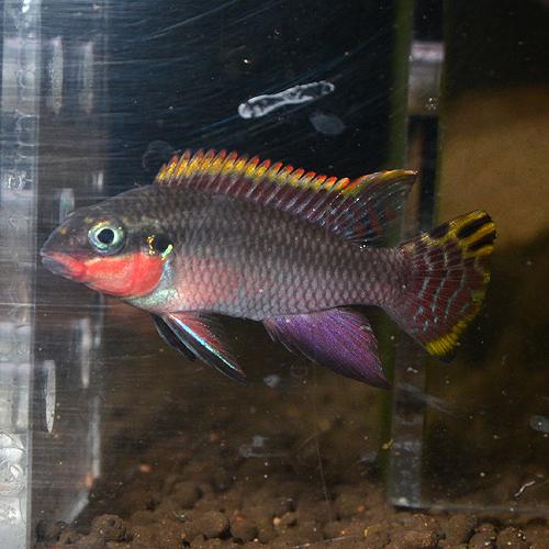 """ペルヴィカクロミス・タエニアータス""""ナイジェリアレッド"""" ペア 1519d(欧州ブリード) (熱帯魚)"""