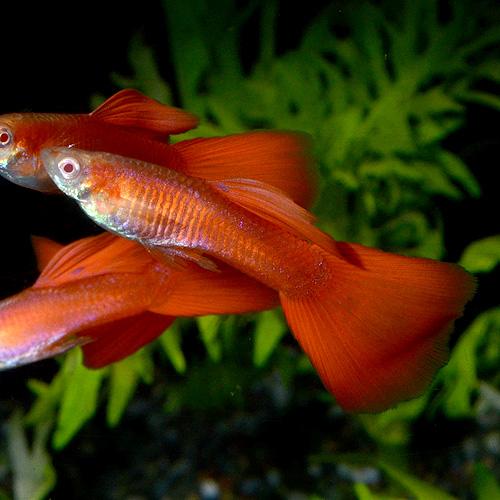 <所沢グッピー> RRE.Aフルレッド 1pr(熱帯魚)