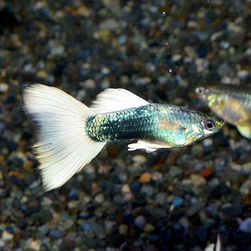 <所沢グッピー系>【限定特価】 ドイツイエロータキシード 種親サイズ 1pr(熱帯魚)