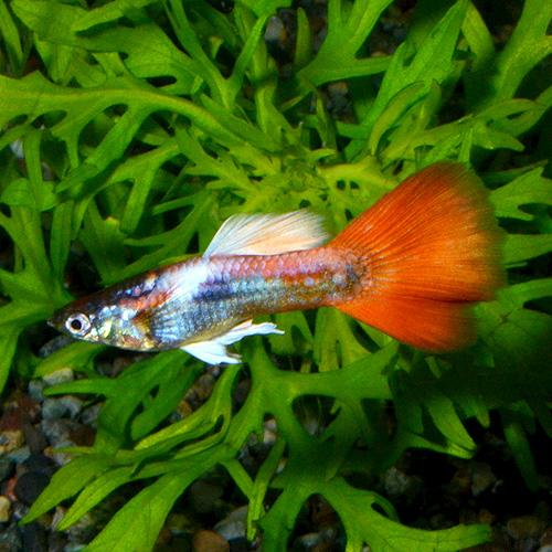 <所沢グッピー> ジャーマンレッドプラチナム 1pr(熱帯魚)