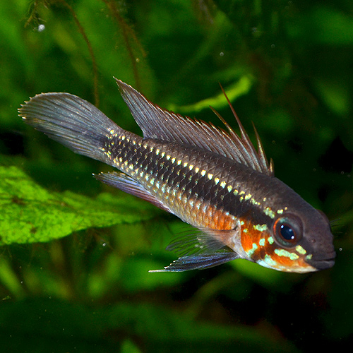 Ap エリザベサエ 1Pr 欧州ブリード (熱帯魚)
