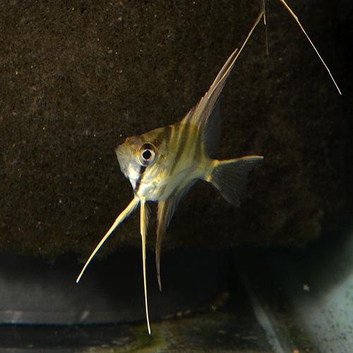 特価!アルタムエンゼル  SS〜Sサイズ 40匹(熱帯魚)