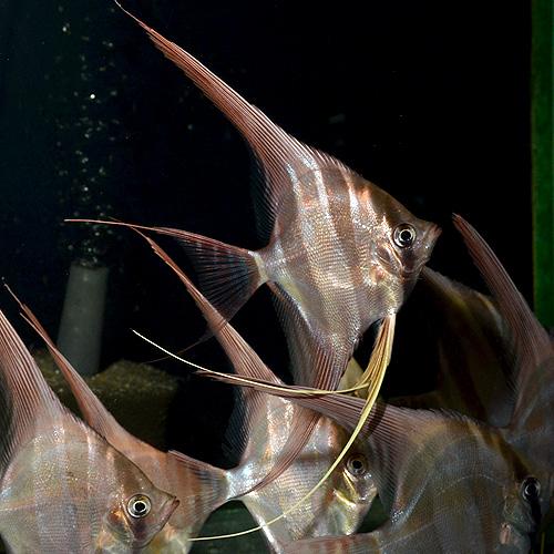アルタムエンゼル ML〜Lサイズ 3匹 (熱帯魚)