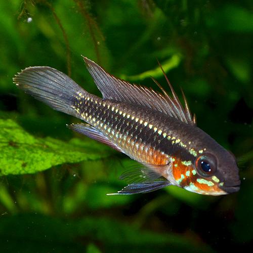 Ap エリザベサエ・ネグロ 1Pr ワイルド個体 (熱帯魚)