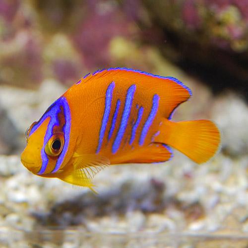 クラリオンエンゼル S〜SMサイズ 2625d (海水魚)