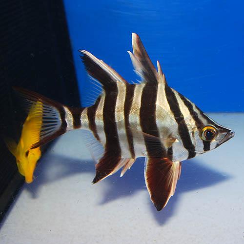 オールドワイフ 2703m (海水魚)