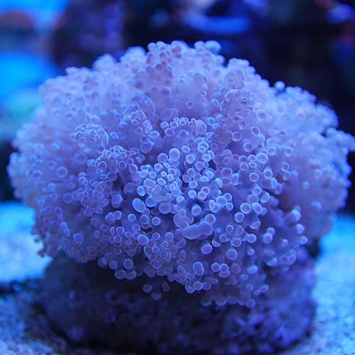 タコアシサンゴ ノーマルカラー Sサイズ (海水魚)