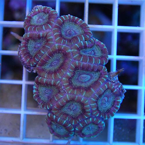 キクメイシ 2715a (海水魚)