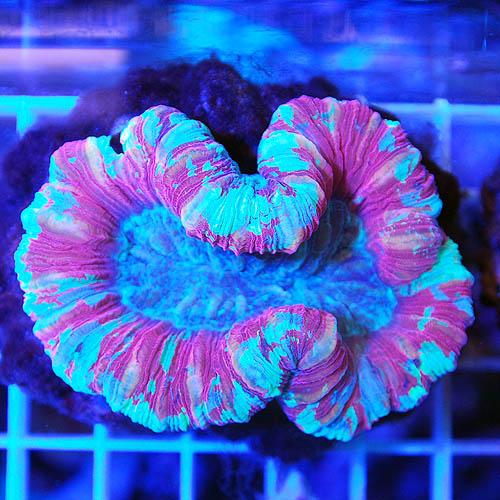 オオバナサンゴ マルチカラー 03d (海水魚)
