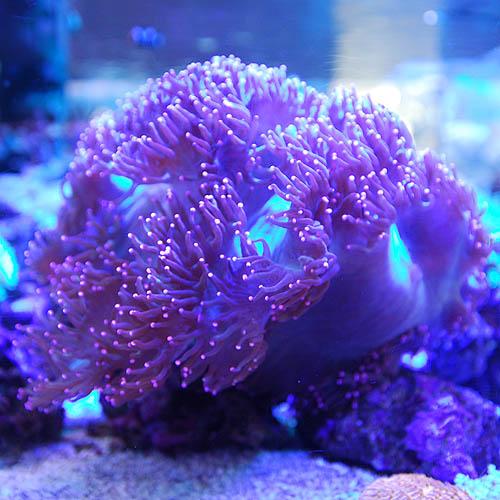 トランペットコーラル 先ピンク 2811j3 (海水魚)