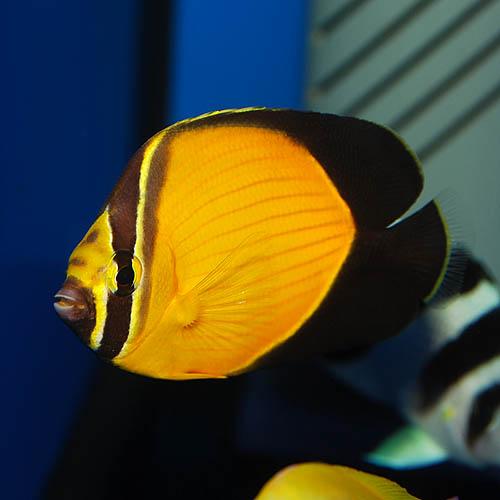 アラビアンバタフライ (海水魚)