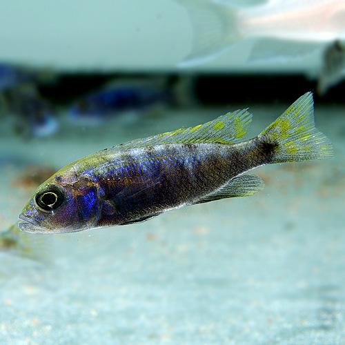 アーリー(S) 3匹 (熱帯魚)