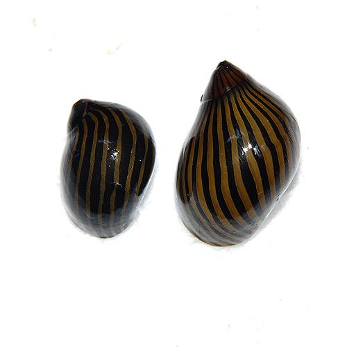 (貝)シマカノコガイ 合計5個(4個+1個サービス)(熱帯魚)