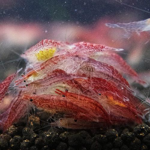 レッドチェリーシュリンプ 合計10匹(8匹+2匹サービス)(熱帯魚)